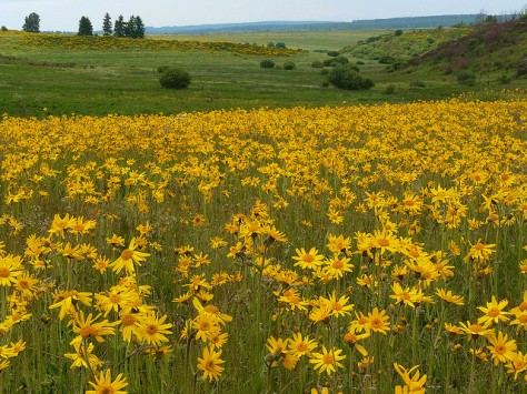 A meadow of Arnica montana growing wild in Belgium
