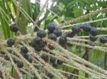 Acai berries Credit: Cametaora