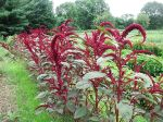 Amaranth plants
