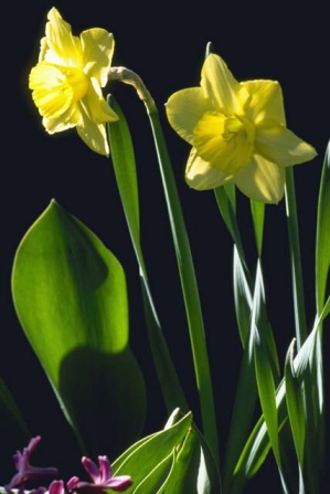 Copy of daffodils