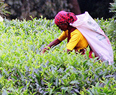 A tea picker in Sri Lanka photo: Steenbergs