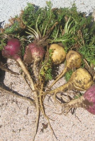Maca roots