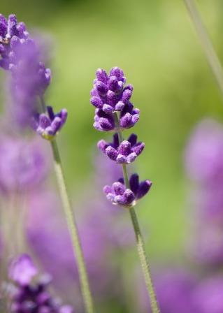 lavender-76476_640