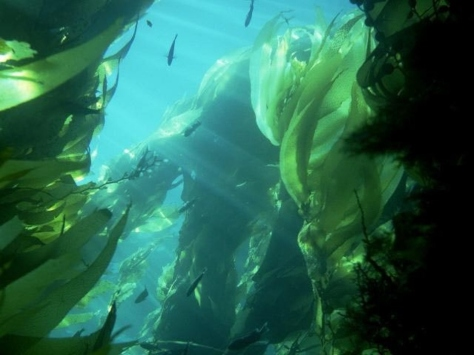 Kelp is a rich source of iodine
