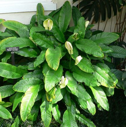 benefits of houseplants. Peace Lily (Spathiphyllum) can remove indoor pollution from the home