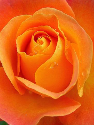 flower rose-66707_640